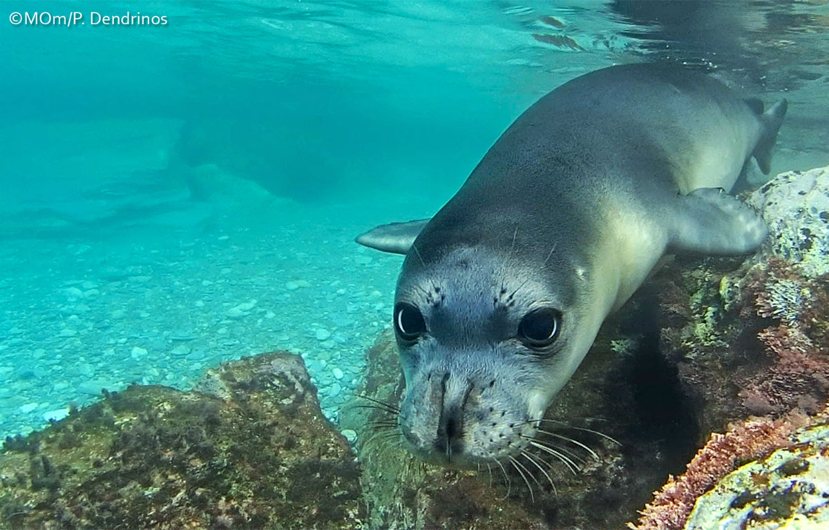 Monk seals 7